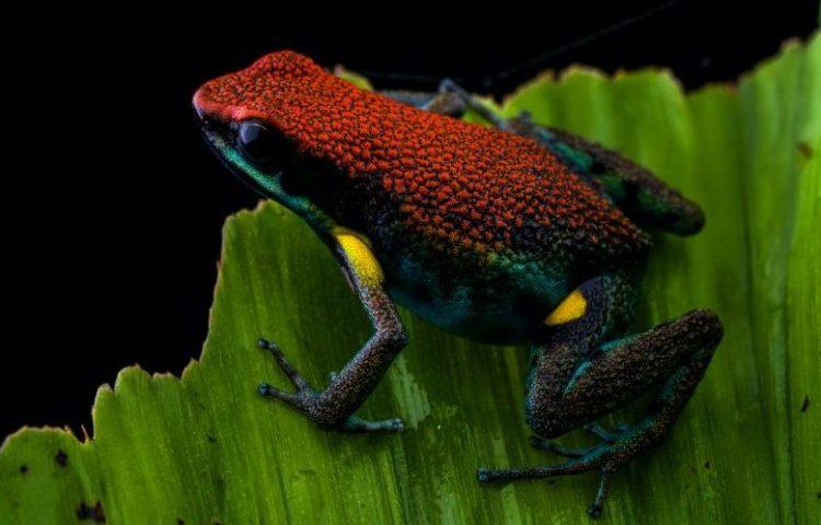 Portrait of an Ecuador Poison, Frog Ameerega bilinguis